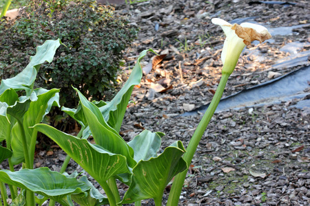Calla lily, Arum lily, Zantedeschia aethiopica, rhizomatous herbaceous perennial plant with arrow shaped dark green leaves and yellow spadix inflorescence with white tailed spathe.