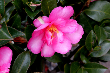 Camellia sasanqua, sasanqua camellia, ornamental shrub with lustrous serrate simple leaves up to 5 cm long and magenta to pink colored rose like flowers with yellow anthers.
