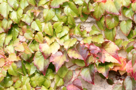 Parthenocissus tricuspidata in autumn, Boston ivy, grape ivy, deciduous woody vine attached to walls by branched tendrils tipped with sticky disks, three lobed leaves turning orange red in autumn.