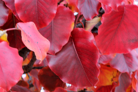 Autumn colors of Callery pear, Pyrus calleryana Golden Blaze, which pruduces more rounded leaves turning brilliant deep crimson in autumn. Stok Fotoğraf