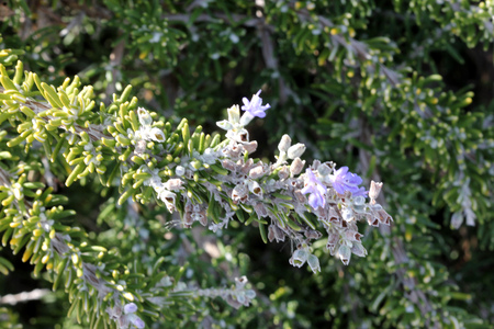 Rosemary, Rosmarinus officinalis, Aromatic evergreen shrub with linear leaves green above white beneath, and and white, purple to blue flowers, leaves used for food flavoring and in folk medicine. Stock Photo
