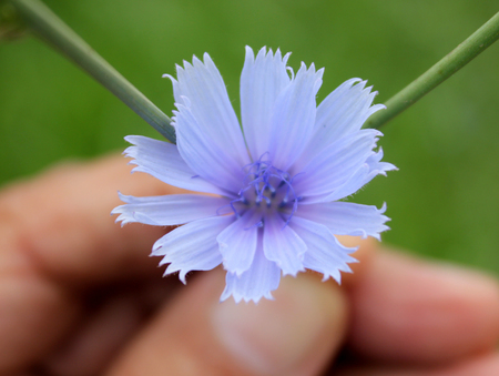 Common chicory, Cichorium intybus, Herbaceous perennial with somewhat lobed leaves and blued rayed flower heads, roots used as coffee substitute, leaves vegetable 版權商用圖片