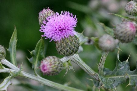 Creeping thistle, Canada thistle, California thistle, Cirsium arvense, herbaceous perennial with lobed leaves, spiny in upper part and purple flower heads with short spiny bracts. 免版税图像