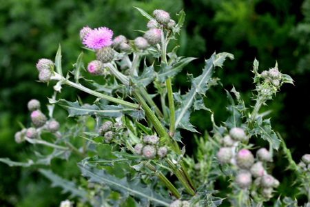 Creeping thistle, Canada thistle, California thistle, Cirsium arvense, herbaceous perennial with lobed leaves, spiny in upper part and purple flower heads with short spiny bracts. Stockfoto