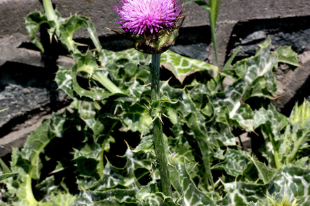 Mediterranean milk thistle, Variegated thistle, Silybum marianum, annual to biennial herb with variegated leaves, green with white veins and purple heads surrounded by spiny bracts. Stock Photo