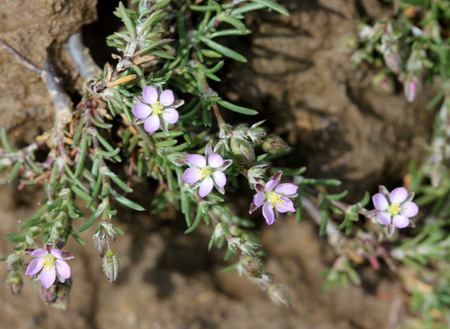 Spergularia rubra, Red sandspurry, slender spreading herb with linear fascicled leaves with silvery stipules and pink flowers with rounded-oval petals.
