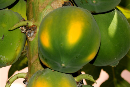 fruits of Papaya, Carica papaya, cultivar Coorg Honey Dew,  tall tree like herbaceous plant with large palmately lobed leaves and producing oval medium sized fruits.