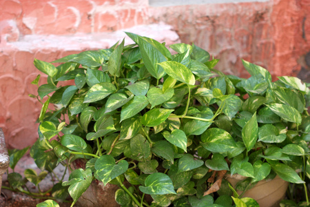 Devil s ivy, golden pothos, hunter s robe, ivy arum, Epipremnum aureum, Scindapsus aureus, very popular foliage plant often climbing on supports or tree trunks, popularly known as money plant in India Stock Photo