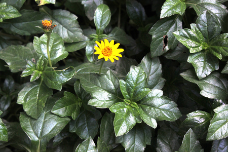 Bay Biscayne creeping-oxeye, Singapore daisy, creeping, Sphagneticola trilobata, spreading mat-forming perennial herb with usually 3-lobed leaves and yellow radiate heads on peduncles. Stock fotó