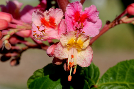 Red horse chestnut, Aesculus x carnea, hybrid tree with red flowers with orange blotch in center and white margins born in erect panicles, deciduous tree with usually 5 leaflets