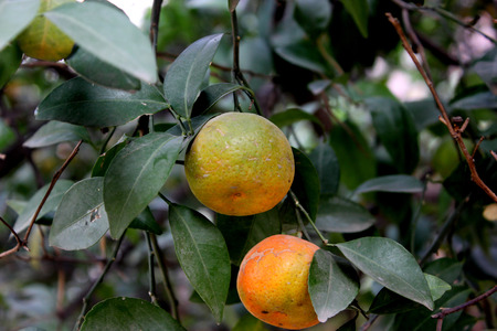 Tangerine, Citrus tangerina often placed under Citrus deliciosa, citrus fruit, rounded in shape, usually less than 8 cm, orange red when ripe, thinner smooth easily peeling rind and smaller segments.