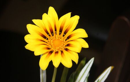 Gazania linearis, Treasure flower, clump forming matter perrenial herb with linear lanceolate leaves, white beneath and yellow radiate flowerheads on naked stalk.