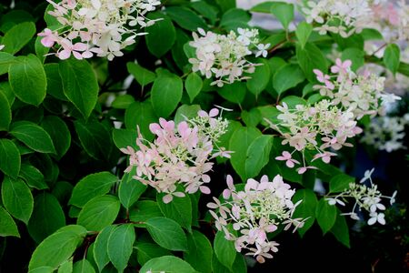 Hydrangea paniculata, graceful deciduous shrub with dark green leaves, dense erect conical clusters of mostly sterile large flowers, smaller fertile flowers, of initially green to white flowers turning to pink.