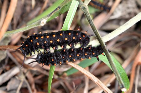 Catterpillars of California Pipevine Swallowtail, Battus philenor subsp. hirsuta, Rare California native butterfly, caterpillars black with fleshy protrusions and red spot