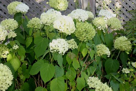 Hydrangea paniculata Limelight, graceful shrub with dark green leaves turning red in autumn, dense erect conical clusters up to 30 cm long, of initially green flowers turning to white, pink and finally beige.