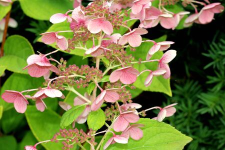 Hydrangea paniculata Interhydia Pink Diamond,, graceful shrub with dark green leaves, dense erect conical clusters of mostly sterile flowers, of initially white flowers turning to pink.