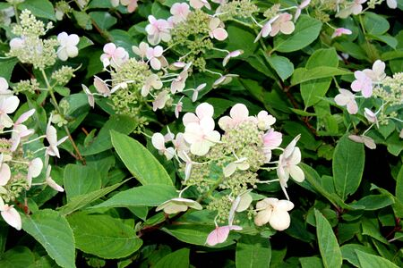 Hydrangea paniculata Tardiva, graceful deciduous shrub with dark green leaves, dense erect conical clusters up to 20 cm long of showy white sterile as well as fertile flowers.