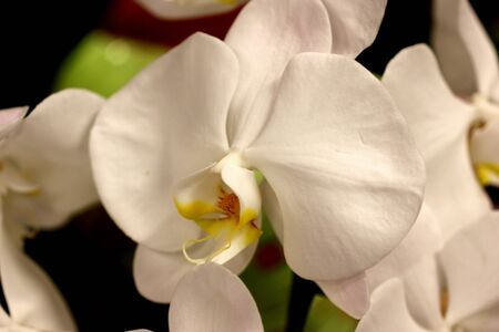 Phalaenopsis cultivar with pure white flowers on erect sturdy stalks, lip narrow deltoid tinged yellow with long whiskers