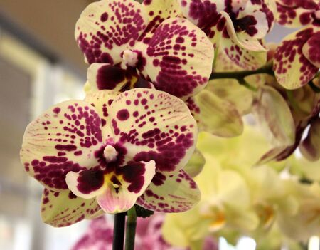 Phalaenopsis cultivar with sturdy erect stalks with large yellow flowers purple spots, broad lip tinged pink