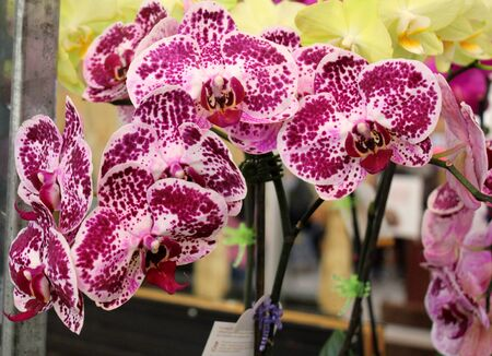 Phalaenopsis Chian Xen Diamond, hybrid cultivar from parents Golden Peoker and Judy Valentine, with sturdy stalks bearing magenta to purple flowers with white patches and spots.