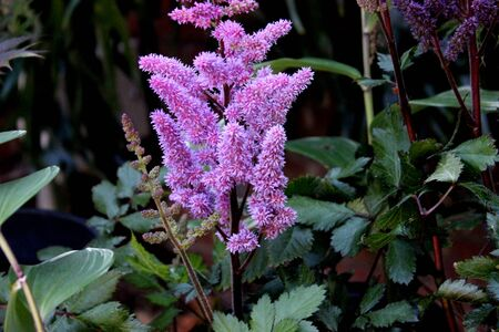 Astilbe Vision in Red, Chinese Astilbe, clump-forming perennial with 2-3 ternately compound leaves with sharply toothed leaflets and densely packed purple red flowers in erect panicles.