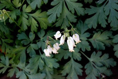 Dicentra Aurora , Bleeding Heart, herbaceous perennial with deeply cut fern-like leaves and white, nodding, heart-shaped flowers,  protruding inner petals of the flower purportedly appear to form a drop of blood at the bottom