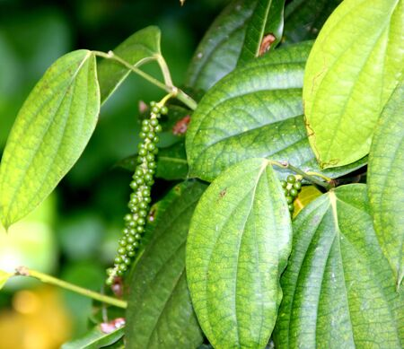 Black pepper vine with fruits, Piper nigrum, perennial woody vine with alternate leaves and pendulous spikes producing peppercorn, used as a spice.