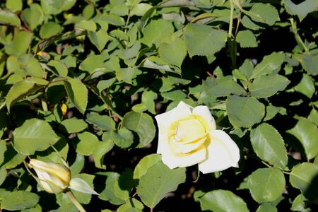Rosa Elina also marketed as DICjana and Peaudouce, light yellow fragrant hybrid tea rose, a bushy shrub with glossy green leaves, large long-living flowers on long stems