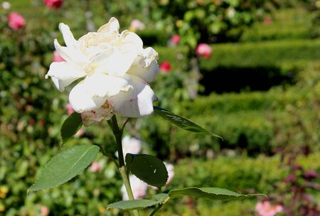 Rosa Sugar Moon, Hybrid tea cultivar, erect shrub with glossy dark green leaves and clean white double flowers with strong citrus fragrance