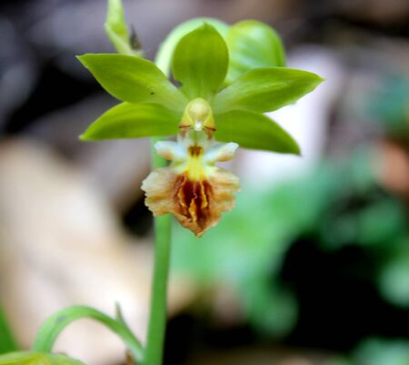 Calanthe tricarinata, Monkey Orchid, perennial herb from Himalayas with pseudobulbs, 2-3 sheathing leaves and monkey faced greenish yellow flowers with large reddish-brown labellum.