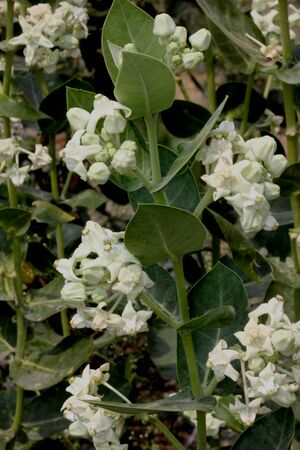 Calotropis gigantea, Crown flower, shrub with opposite thick leaves with milky latex, white to pink flowers in a terminal clusters, each flower with oblong corolla lobes and central raised crown.