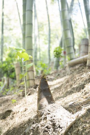 A bamboo shoot that looks good in the spring bamboo grove
