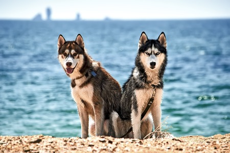 Siberian husky on the beach. Dogs on the summer beach. Rest with pets in the Crimea near the Black Sea. Stock Photo