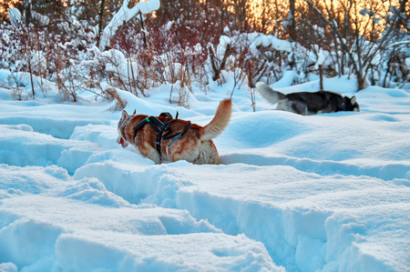 Two husky dogs make their way through the deep snow after blizzard among the big snowdrifts in winter forest. Walk through snow-covered forest. Evening light, rear view.
