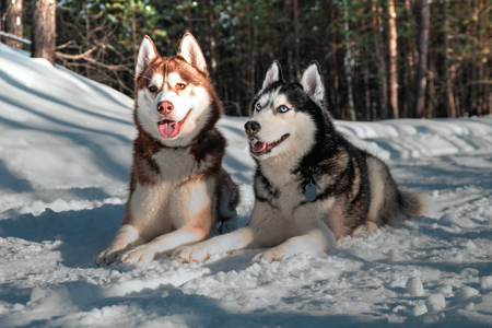Portrait of Siberian husky on the background of sunny snowy winter forest.
