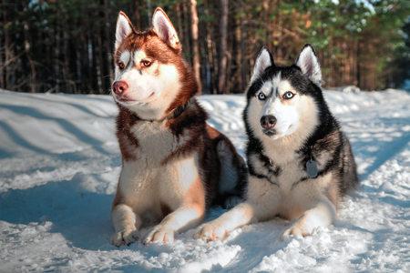 Husky dogs lie on white snowflakes look forward.
