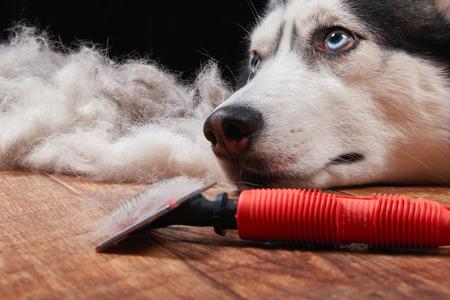 Husky hond en grote stapel vacht met hond kam. Borstel voor hondenhaar.