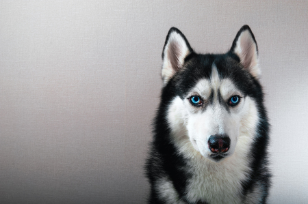 Studio portrait husky dog with serious look. Beautiful Siberian husky black and white color with blue eyes.