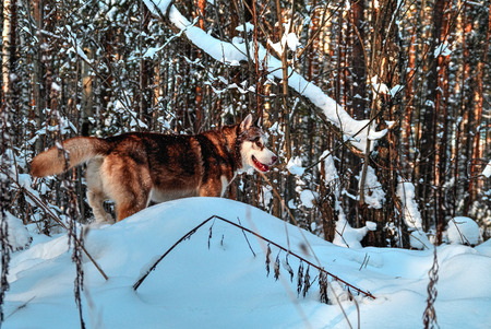 Husky dog with a snowy muzzle sneaks in the winter forest.