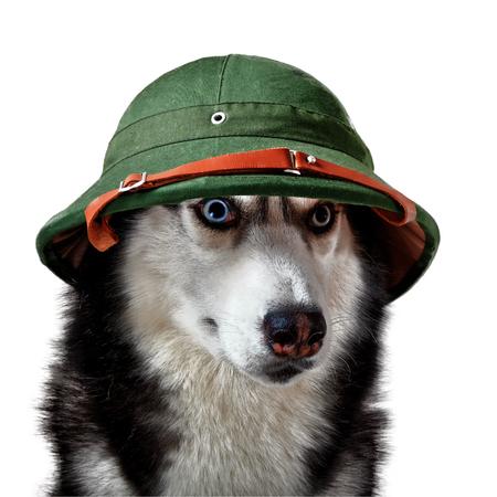 Husky dog in tropical ex-helmet. Siberian husky in green traveler cork helmet on white background for cutout.