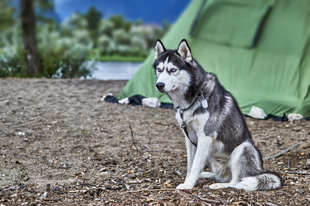 Black and white color Siberian husky with blue eyes sitting on the sand and stares with head bowed. Stock Photo