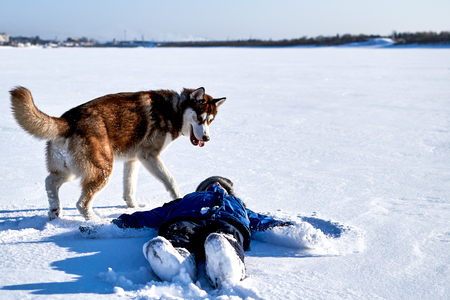 Red siberian husky playing with baby on a snowy field. The dog knocked the child down. Stockfoto