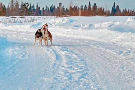 Walk with crazy pets. Siberian husky playing on winter walk. Husky dogs bite and push in snow. Stock Photo - 96052955