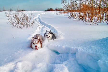 Walk with loved dogs. Siberian husky playing on winter walk. Husky dogs bite and push in snow.