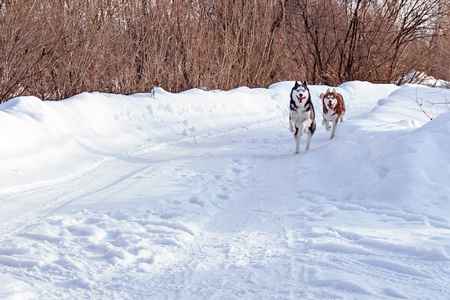 Walk with funny crazy pets. Siberian husky dogs playing on winter walk.