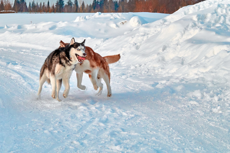 Walk with crazy pets. Siberian husky playing on winter walk. Husky dogs bite and push in snow. Stock Photo