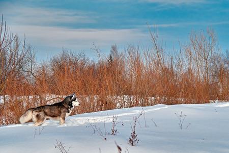 Landscape: walk with dog. Siberian husky on winter walk. Husky dog run in snow.