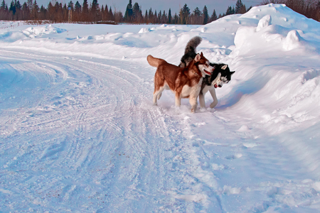 Walk with dogs. Siberian husky playing on winter walk. Husky dogs bite and push in snow.