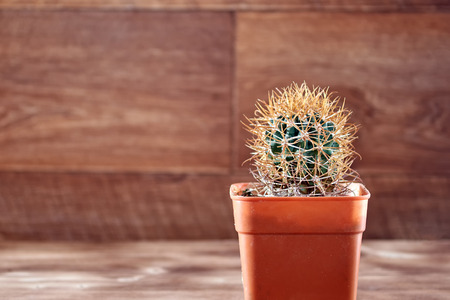 Unusual cactus with Golden thick hook-like spines and needles, thorn. Vintage wooden background. Copy space.
