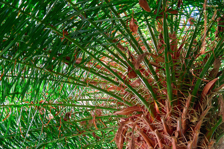 Dense green crown palm, view from below. Radially divergent branches from rough rough bright red-brown tree trunk. Copy space.